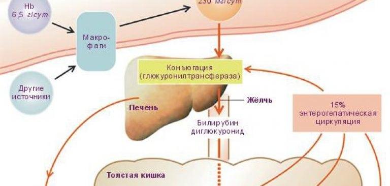 Повышенный билирубин причины и симптомы билирубина