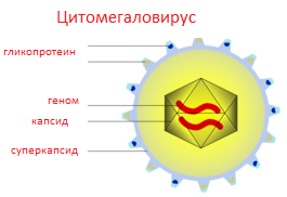 Цитомегаловирус igg положительный igm отрицательный